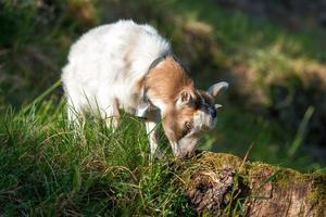 Small goat grazing photo