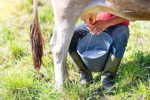 ordeñar una vaca manualmente. Vaca alpina del norte de Italia, raza marrón foto