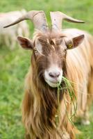 Long-horned goat eating grass photo