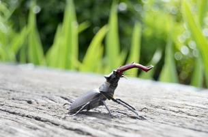 Escarabajo ciervo macho con mandíbulas largas y afiladas en el bosque salvaje sentado foto