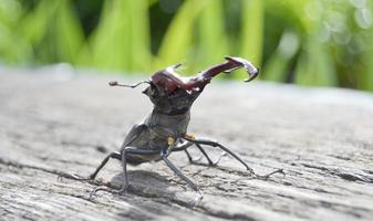 Male stag beetle with long and sharp jaws in wild forest sitting photo