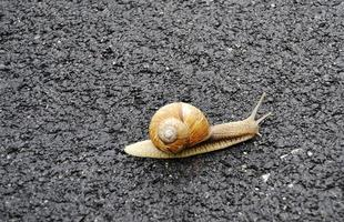 Big garden snail in shell crawling on wet road hurry home photo
