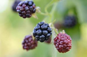 whole ripe berry black, red blackberry in nature closeup photo