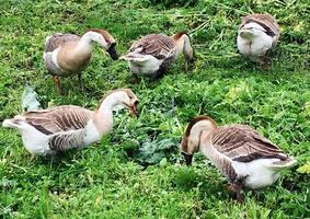 familia de animales blancos gansos van a beber agua del estanque foto