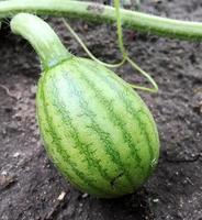whole young green fruit watermelon photo