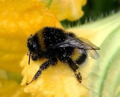bee slowly flies to the plant, collect nectar for honey photo