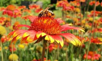 Winged bee slowly flies to the plant, collect nectar for honey photo