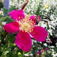 abeja alada vuela lentamente a la planta, recolecta néctar para miel foto