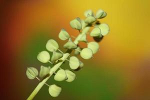 flores silvestres frutas muscari neglectum familia asparagaceae impresión moderna foto