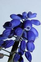 Flor de cerca muscari neglectum familia Asparagaceae impresiones modernas foto