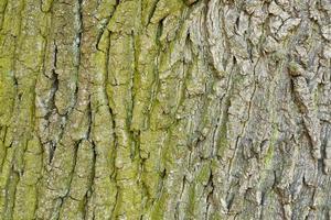 Textura de corteza de árbol de madera vieja abstracta foto