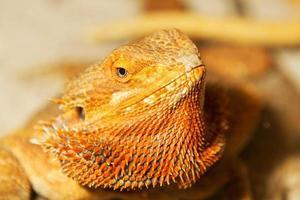 Dragón barbudo adulto pogona vitticeps lagarto en terrario foto