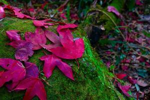 hojas de arce rojo caído en la piedra en el musgo verde foto