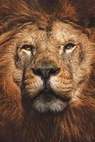 león panthera leo el retrato de detalle del león foto