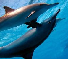Spinner dolphin .Stenella longirostris is a small dolphin . photo