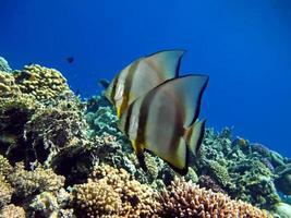 Fish Platax, Blue Platax . photo