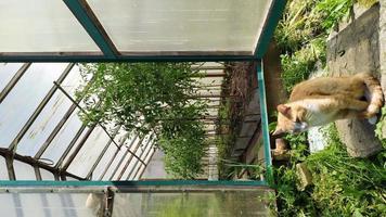 invernadero con tomates en el jardín. en primer plano foto