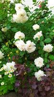 White roses. Small roses bloom in the garden in summer in July. photo
