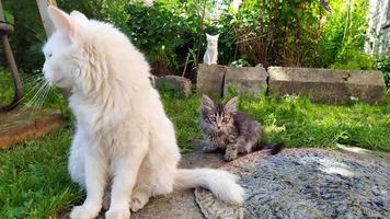 White old cat with kittens walks on the street near the house. photo