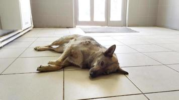 A sick dog lies in the waiting room of a veterinary clinic. photo