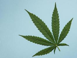 hojas de cannabis verde sobre fondo azul. foto