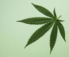 Green cannabis leaves on green background. photo