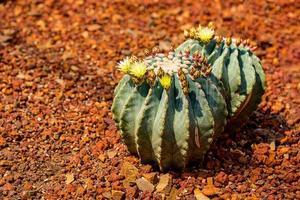 Ferocactus glaucescens var. nudum with yellow flowering on the garden photo