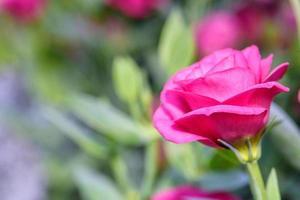 Hermosas flores de lisianthus en el jardín. foto