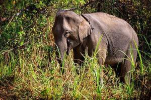 elefante asiático es un gran mamífero. foto