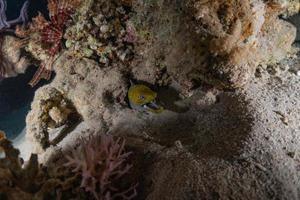 Moray eel Mooray lycodontis undulatus in the Red Sea, Eilat Israel photo