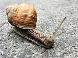 Small garden snail in shell crawling on wet road, slug hurry home photo