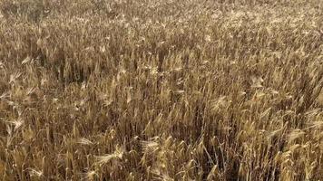 sfondo naturale con un campo e cereali in crescita video