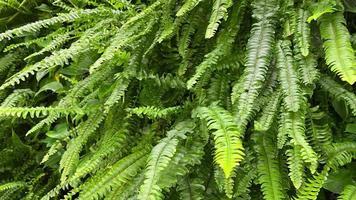 planta fundo cinemagraph com folhas verdes de samambaia. video