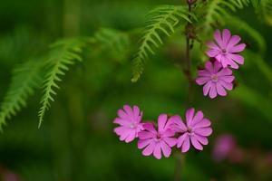campion rojo, flores silvestres del Reino Unido. foto