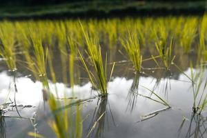 young rice plant in the field photo