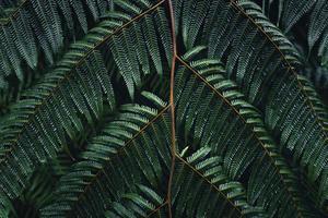 Dark fern leaves in the tropical rainy season photo