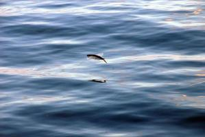 Flying fish gliding over the water photo