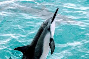Dolphins swimming in Hawaii photo