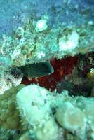 Eel hiding in coral photo