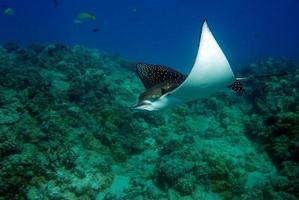 Manta Ray swimming underwater photo