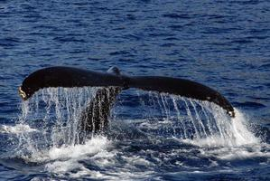 Whale tail with water dripping from it photo