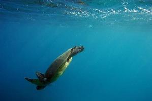 Turtle diving underwater photo
