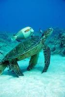 Fish and turtle swimming photo