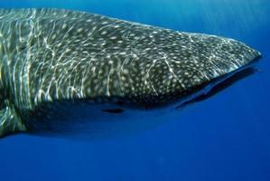 Whale shark profile photo