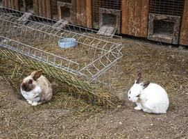 rabbit farm with fluffy rabbits on the background of straw bedding photo