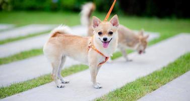 lindo perrito caminando en la hierba frente a la casa. foto