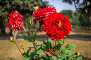 Dahlia Flower image photo