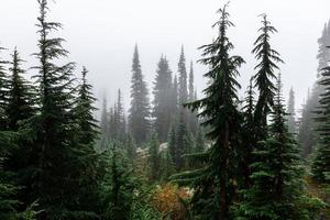ambiente brumoso del bosque de pinos en clima frío del invierno. foto