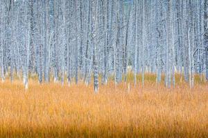 Grey dead trees with orange grass field. photo