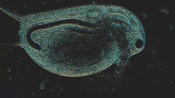 Using a microscope for animal cells or biological research video